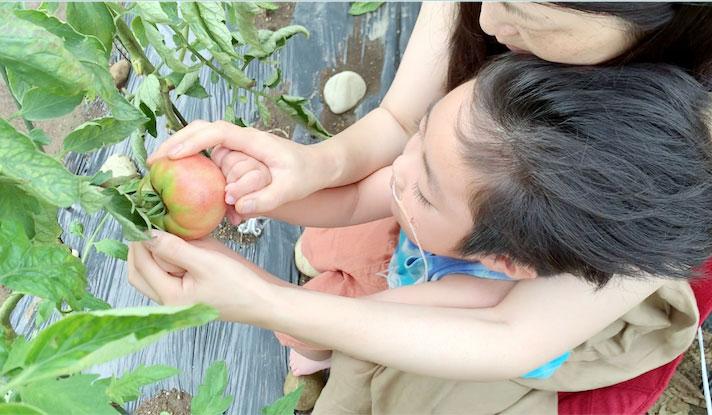 トマトを収穫